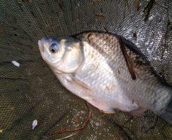 きれいなヘラブナが釣れました。